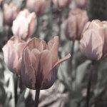 Eden desaturated Tulips