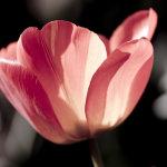 Muted Tulip