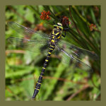 Ben Lomond dragonfly