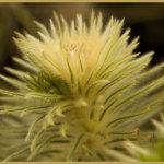 Fluffy seed head