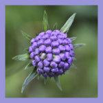 Purple pincushion seed head