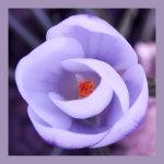 Lilac Crocus Head