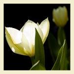 Luminous Lemon Tulip
