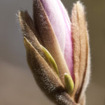 Opening Magnolia bud