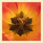 Fiery orange Tulip stamen