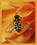 Hoverfly on orange Dahlia