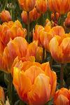 Eden painted Tulips