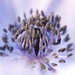 Purple Anenome stamen
