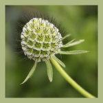 Rhossili seed head