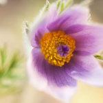 Sunlit Purple Pulsilatta