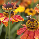 Winged Bee on Helenium Biedermier