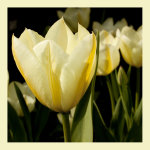 Lemon Tulips