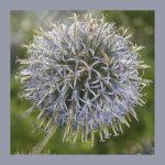 Blue seed head square
