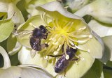 Guernsey Bees Collecting pollen on a hellebore - 5th March 2014