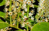 Honey bee on a laurel bush