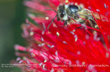 Honey Bee Emerging from a Bottle Brush Flower