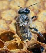 A closeup of a worker bee emerging