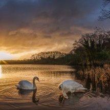Swan Sunrise #2