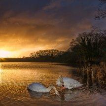 Swan sunrise #1