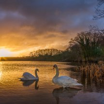Swan sunrise #3