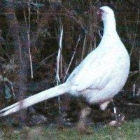 """Ghost"" Pheasant"