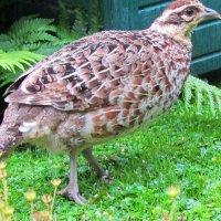 Unusual Female Pheasant