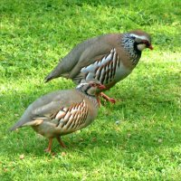 Red-legged Partridges
