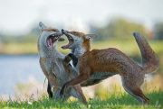 Foxes fighting 3