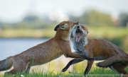 Foxes fighting 2