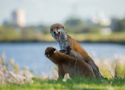 Foxes fighting 1