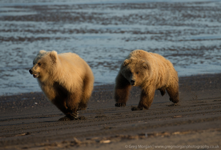 Brown bear female chasing other bear