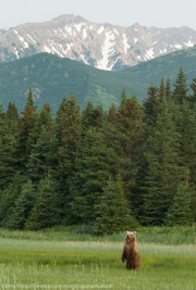Brown bear standing against mountain backdrop