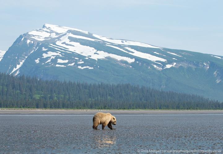 Brown bear clamming against mountain backdrop