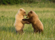 Bear cubs play fighting 8