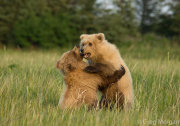 Bear cubs play fighting 2