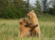 Bear cubs play fighting 1