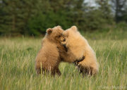 Bear cubs play fighting 7