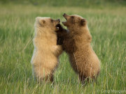 Bear cubs play fighting 4