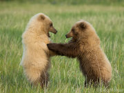 Bear cubs play fighting 3