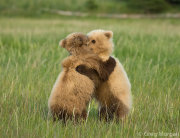Bear cubs play fighting 6