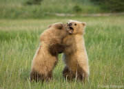 Bear cubs play fighting 5