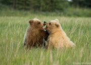 Bear cubs play fighting 9