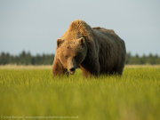 Brown bear male portrait 1