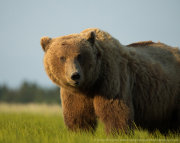 Brown bear male portrait 2