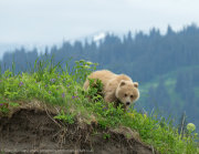 Brown bear cub in landscape 2