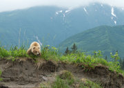Brown bear cub in landscape 1