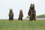 Brown bear family standing