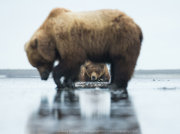 Brown bear male resting with female clamming in foreground
