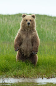 Brown bear cub standing 2
