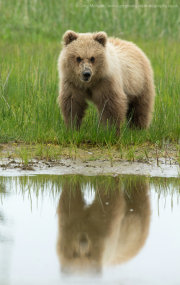 Brown bear cub reflection